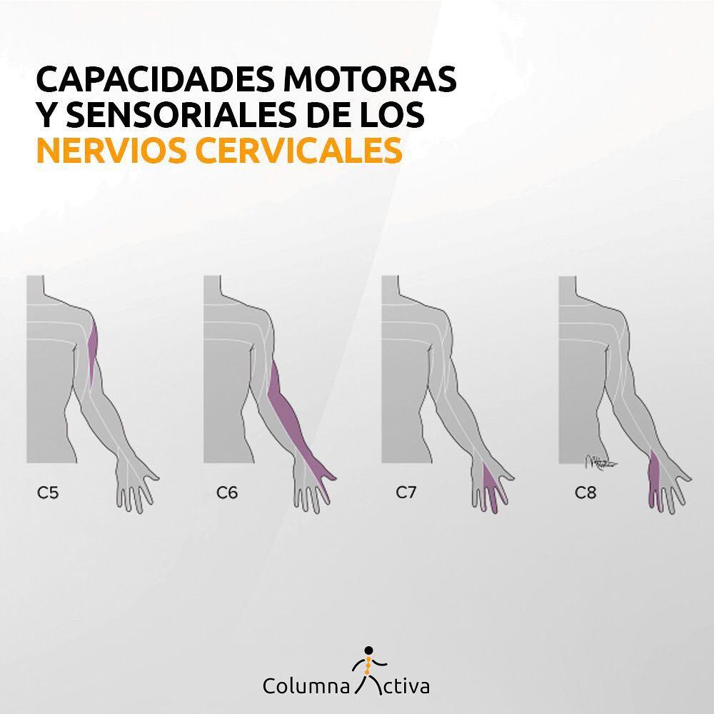 Capacidades motoras y sensoriales de los nervios cervicales