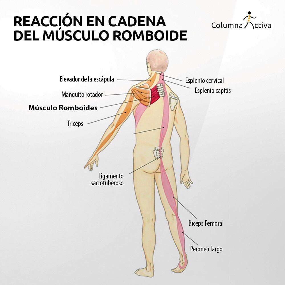 Músculo romboide