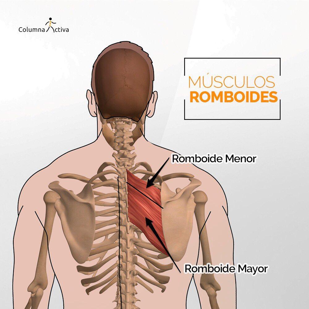 Musculo Romboide